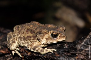 grenouille-Bufo melanostictus