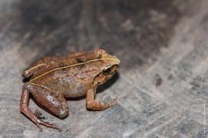 grenouille-Fejervarya limnocharis
