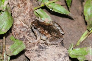 grenouille-Microhyla fissipes
