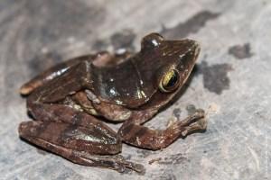 grenouille-Polypedates leucomystax