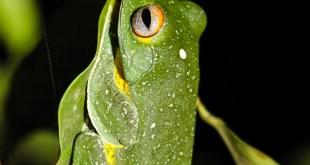 grenouille-Rhacophorus kio