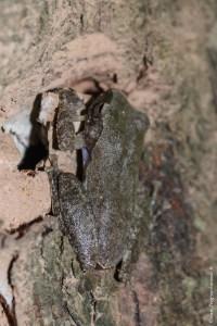 grenouille-Rhacophorus spelaeus