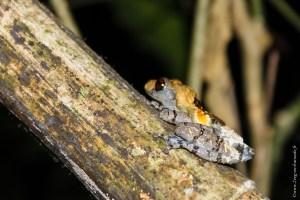 grenouille-Theloderma asperum