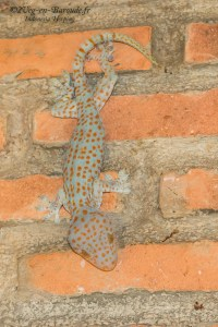 lézard-Gekko gecko