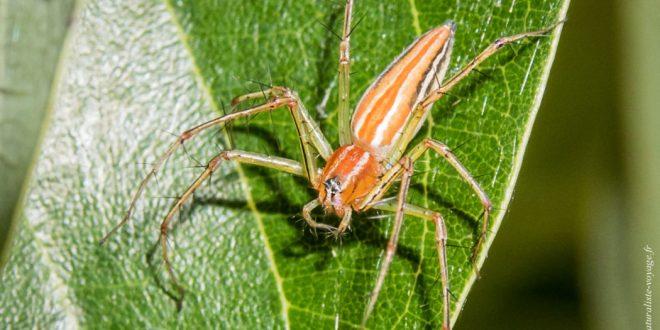 araignée australie Oxyopes