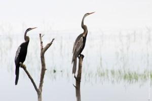 oiseau-Anhinga melanogaster