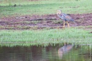 oiseau-Ardea purpurea