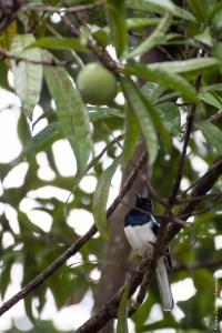 oiseau-Copsychus saularis