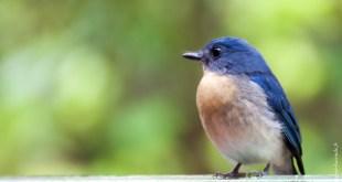 oiseau-Cyornis tickelliae