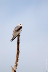 oiseau-Elanus caeruleus