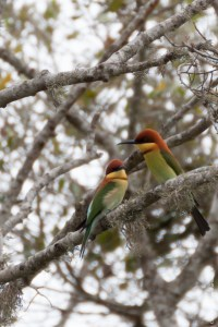oiseau-Merops leschenaulti