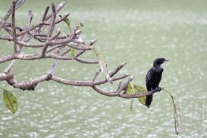 oiseau-Microcarbo niger