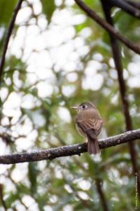 oiseau-Muscicapa muttui