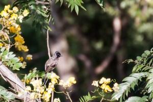 oiseau-Pycnonotus cafer