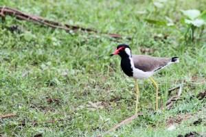 oiseau-Vanellus indicus