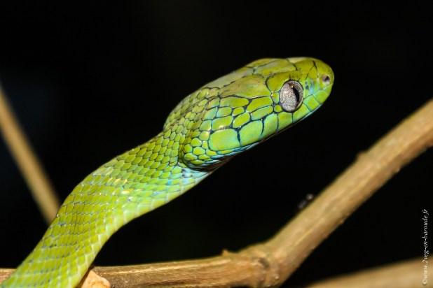 reptile-Boiga cyanea