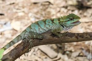 reptile-Calotes emma