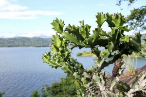 reptile-Calotes versicolor