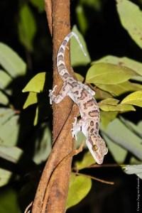 reptile-Cyrtodactylus sp