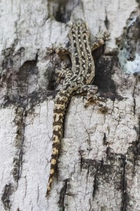 reptile-Hemidactylus frenatus