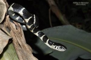 serpent-Boiga dendrophila