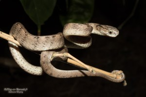 serpent-Pareas carinatus