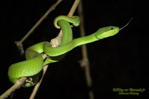 serpent-Trimeresurus insularis