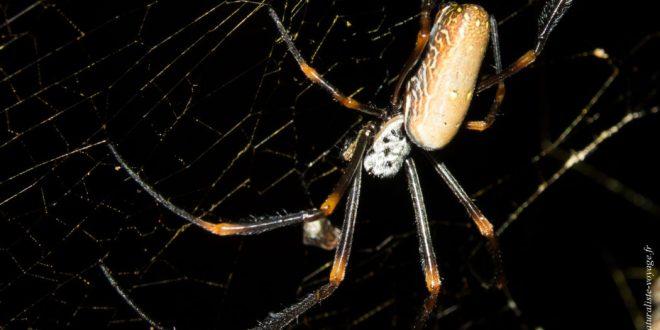 araignée Australie Nephilidae