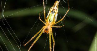 araignée australie Tetragnathidae
