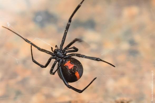 araignée queensland redback