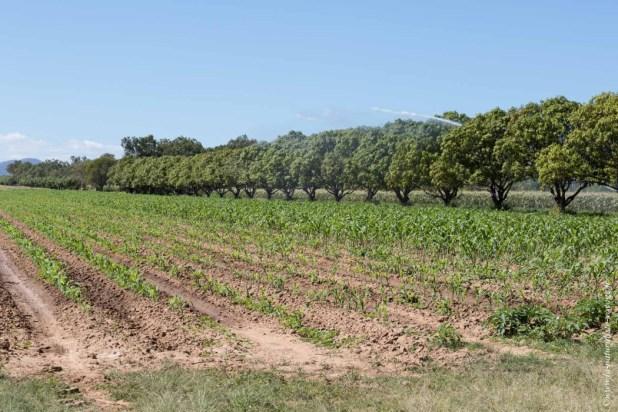 Manguiers et jeune champ de maïs