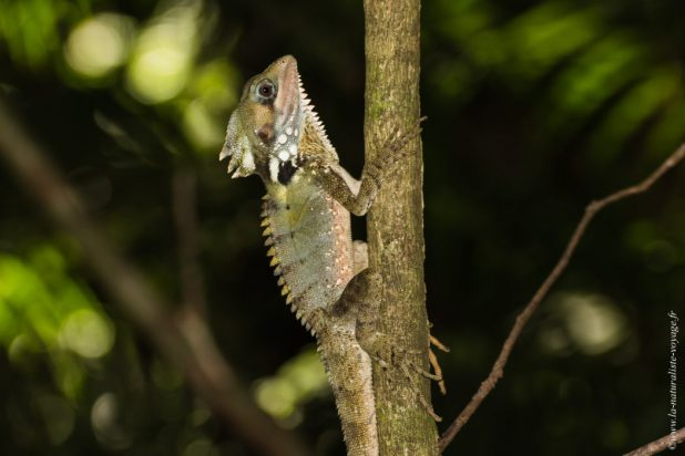 mossman gorges Hypsilurus boydii reptiles