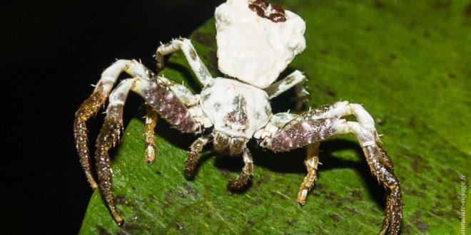 araignée australie Thomisidae