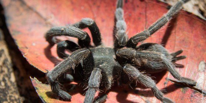 australie araignée mygale