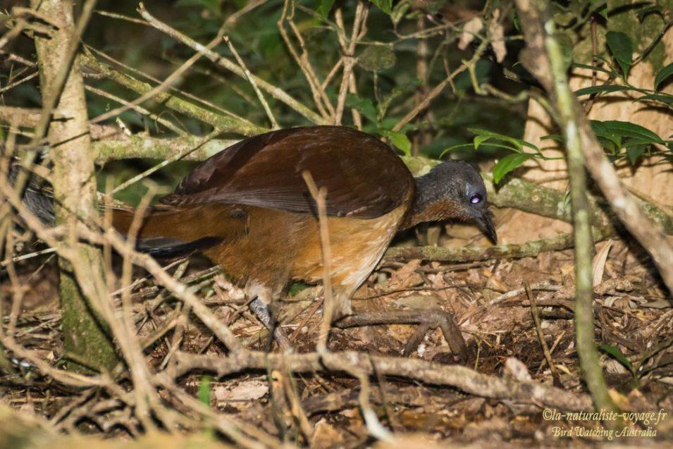 oiseau australie