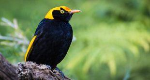 australie oiseau