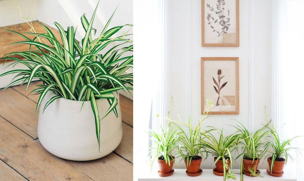 plantes-depolluantes-chlorophytum