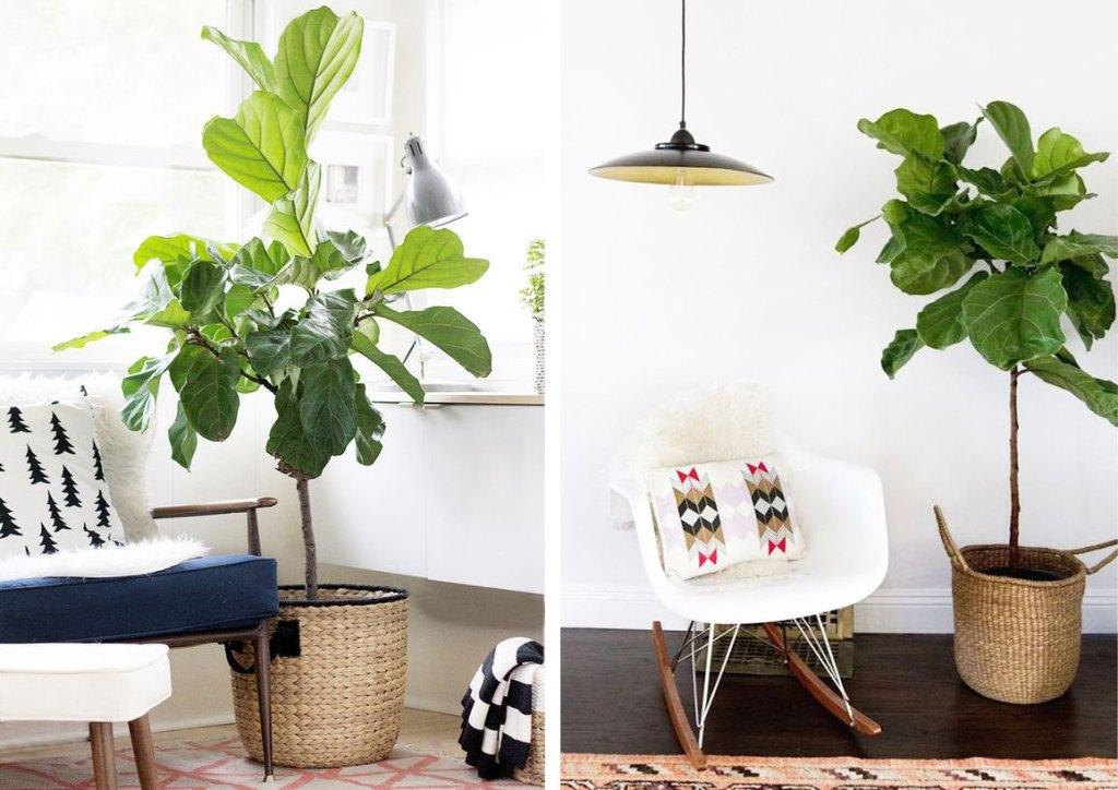 plantes-depolluantes-deco-ficus