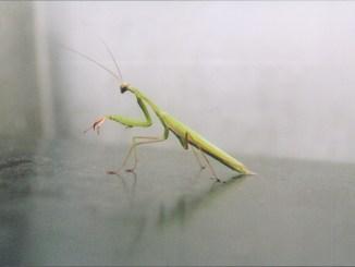 Mantis auf einer Raststätte bei Lyon