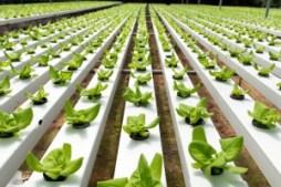 bigstock-Hydroponic-Vegetable-46214644