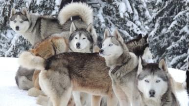 Hondenslee in het bos - Franse Alpen