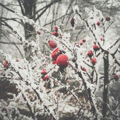 Icy Berries by Ka L-O-K