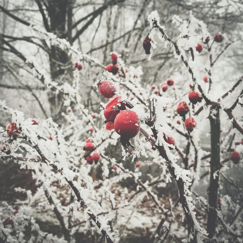 Icy Berries by Ka L-O-K