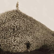 L'extermination du bison américain