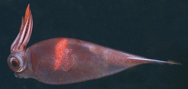 calamar-transparent-houpette-02