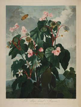 temple-fleur-illustration-Robert-Thornton-26