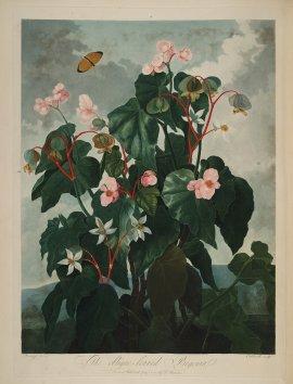 temple-fleur-illustration-Robert-Thornton-26