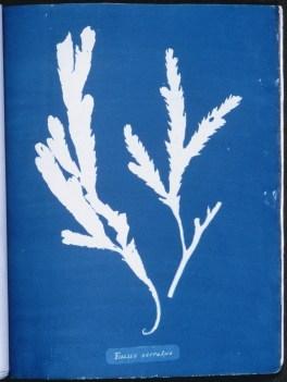cyanotype-anna-atkins-algue-a07
