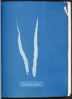 cyanotype-anna-atkins-algue-a09