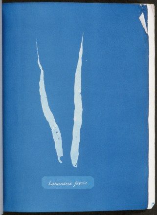 cyanotype-anna-atkins-algue-a09
